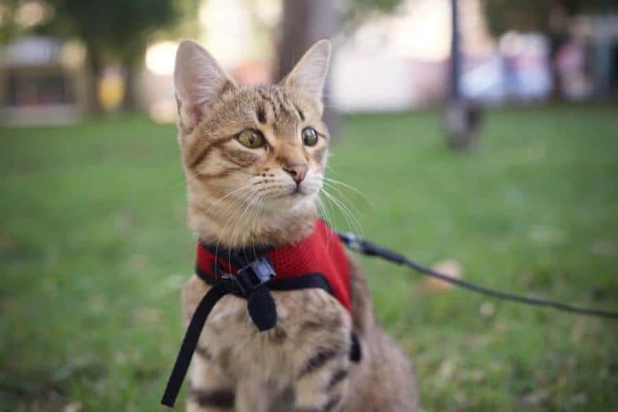 Taking Your Cat To The Park: How To And Tips