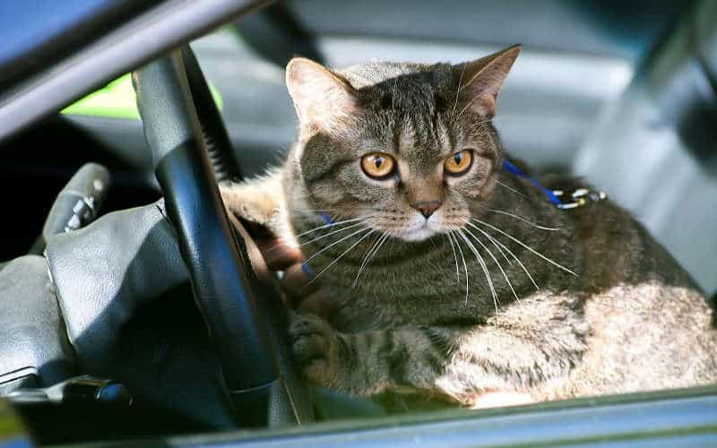How To Keep Your Cat Cool In The Car